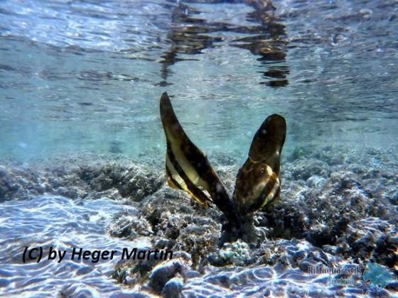 Platax teira - Langflossen Fledermausfisch Babys!