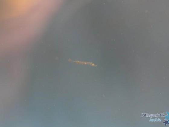 Doryrhamphus excisus; 5 Tage und 18 Std. alt