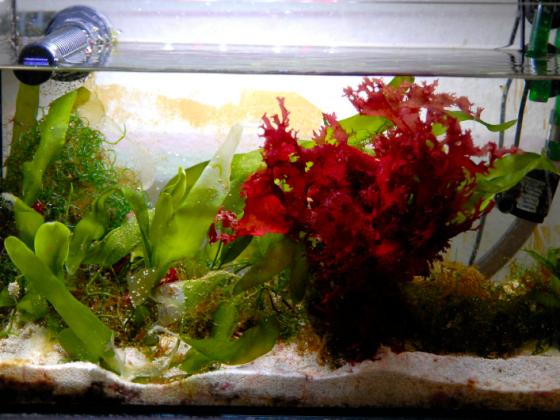 Red Sea Reefer 250 mit Algenrefugium