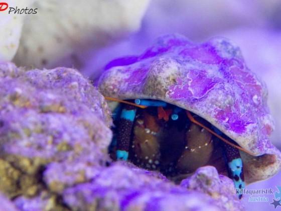Blaubeineinsiedler