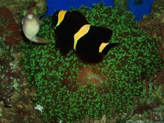 kugel anemonenfisch