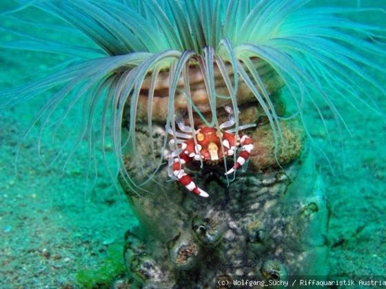 Krabbe auf Zylinderrose