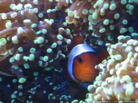 A.Ocellaris Weibchen
