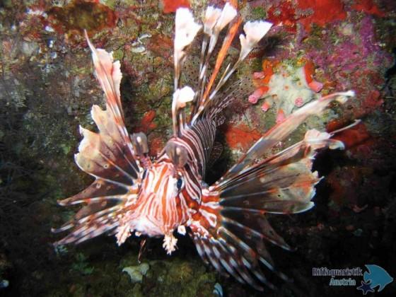 Rotfeuerfischporträt.JPG