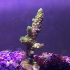 Acropora tumida