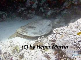 Echte Karettschildkröte-Eretmochelys imbricata