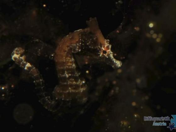 Hippocampus zosterae