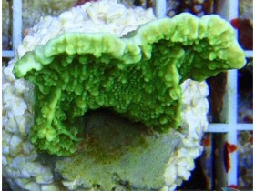 Supergreen Montipora