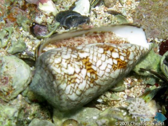 Conus textile (lebend!)