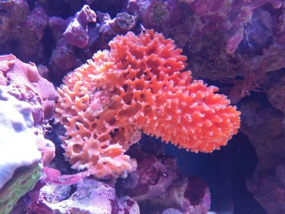 Oranger Stachelschwamm