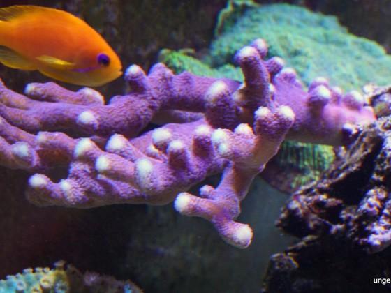 Korallen unter reiner LED Beleuchtung