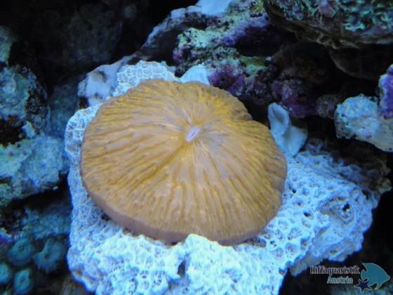 Fungia.JPG