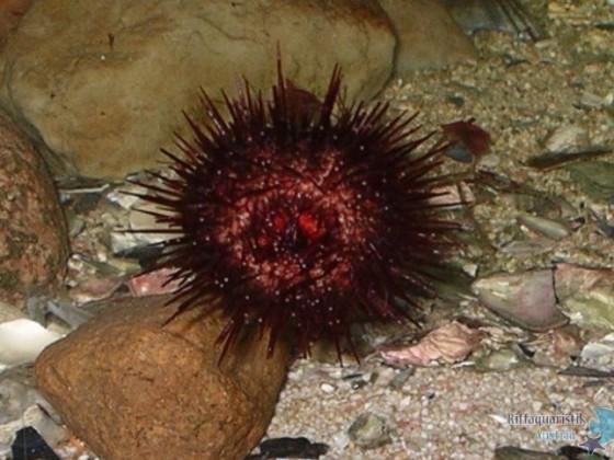 Steinseeigel Paracentrotus lividus