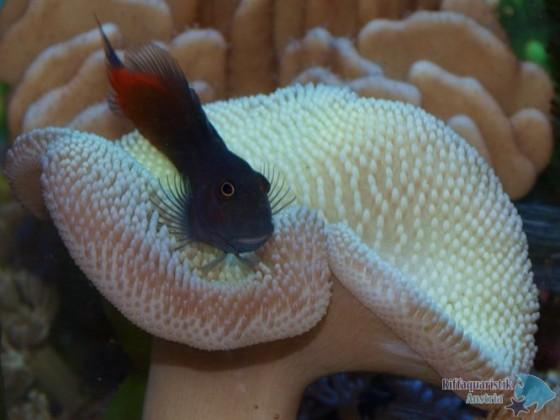 Escenius bicolor